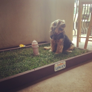dog potty grass delivery