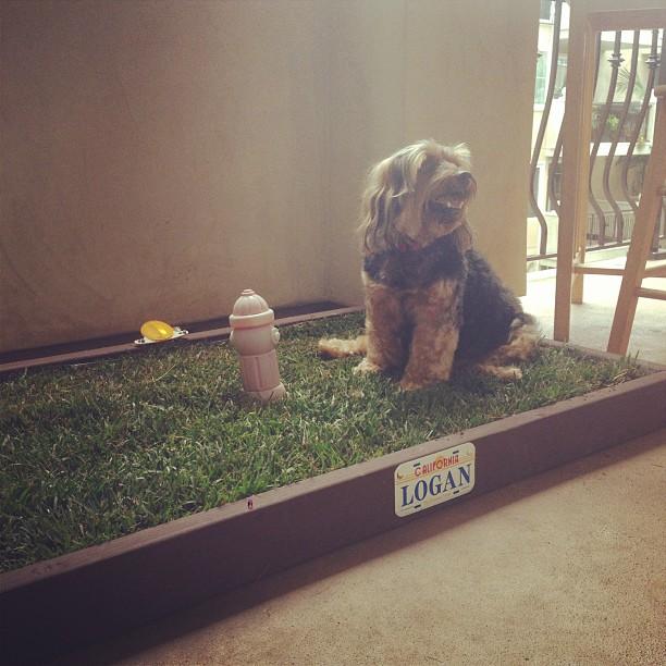 dog potty patch diy network