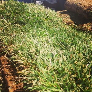 Fresh green grass. From the farm to your door the same day!