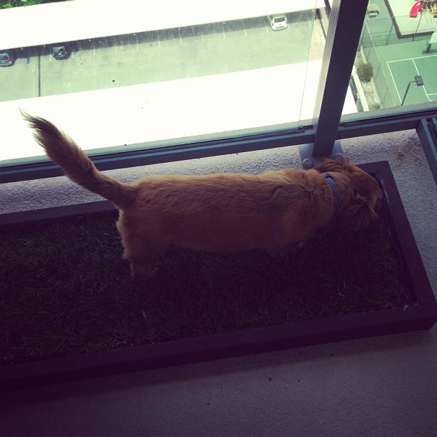 Marina Del Rey Dog Grass