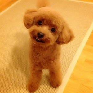 Pino the Toy Poodle on Instagram