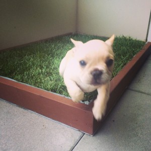 Dog grass delivery for dog potty training